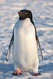 черная белизна пингвина Стоковые Фотографии RF