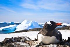 черная белизна пингвина Стоковая Фотография RF