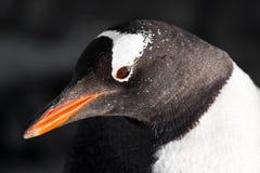 черная белизна пингвина Стоковое фото RF