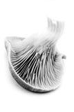черная белизна устрицы гриба Стоковая Фотография