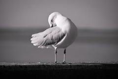 черная белизна чайки Стоковая Фотография