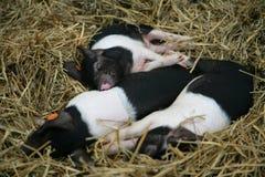 черная белизна 3 спать поросят Стоковое Изображение