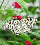 черная белизна n бабочки Стоковые Фото