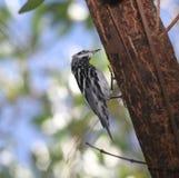 черная белизна warbler Стоковое Фото