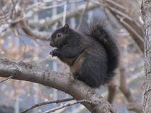 Черная белка сидя на ветви дерева стоковые изображения rf