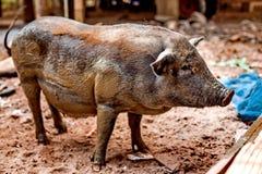 Черная беременная свинья на свободной ферме ряда Стоковые Фото