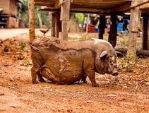 Черная беременная свинья на свободной ферме ряда Стоковые Изображения