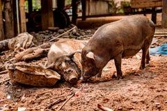 Черная беременная свинья на свободной ферме ряда Стоковое фото RF