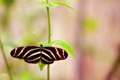 Черная & белая бабочка зебры в aviary Стоковая Фотография RF