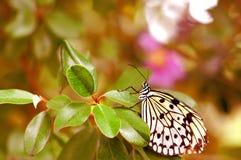 Черная & белая бабочка нимфы CeylonTree Стоковая Фотография