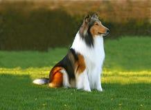 Черная, белая и красная собака стоковые фото