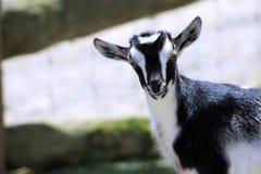 Черная & белая коза ребенк Стоковое Изображение RF
