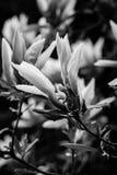 Черная & белая магнолия цветет virginiana магнолии Стоковые Фотографии RF