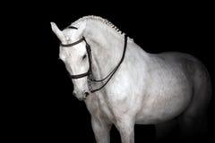 черная белизна лошади Стоковая Фотография RF