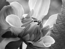 черная белизна цветка Стоковые Фотографии RF