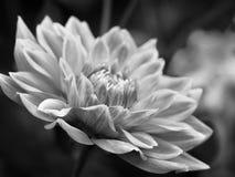 черная белизна цветка Стоковые Фото