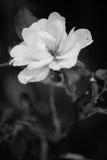черная белизна цветка Стоковое Изображение