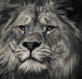 черная белизна льва Стоковые Изображения