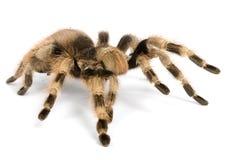черная бразильская белизна tarantula Стоковые Фотографии RF