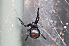 черная вдова Стоковая Фотография RF