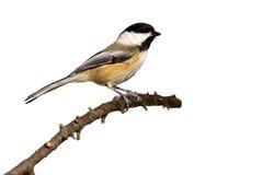 черная ветвь покрыла ый chickadee Стоковая Фотография RF