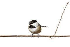 черная ветвь покрыла ый chickadee Стоковое фото RF