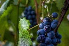 Черная виноградина на ветви Стоковое Фото