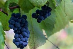 Черная виноградина на ветви Стоковая Фотография