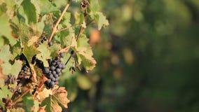 черная виноградина солнечная Стоковое Фото