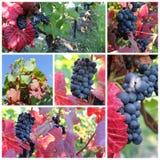 черная виноградина солнечная Стоковое Изображение RF