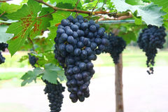 Черная виноградина в саде, виноградина вина Стоковое фото RF