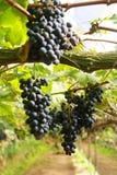 Черная виноградина в саде Стоковое Фото