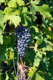 Черная виноградина Италия Стоковая Фотография