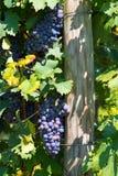 Черная виноградина Италия Стоковые Изображения RF