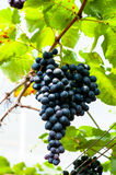 черная виноградина на дереве виноградины ждать некоторый выбор тела для еды Стоковые Фото