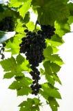 черная виноградина на дереве виноградины ждать некоторый выбор тела для еды Стоковая Фотография