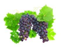 Черная виноградина на лозе тросточки с leafe. Изолированный Стоковая Фотография