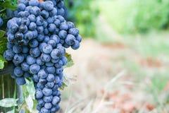 Черная виноградина для красного вина Стоковые Фотографии RF