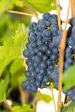 Черная виноградина 9 Стоковое Изображение