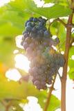 Черная виноградина 8 Стоковые Изображения