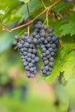 Черная виноградина 6 Стоковое фото RF