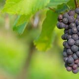 Черная виноградина 12 Стоковые Фото