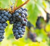 Черная виноградина 13 Стоковое Изображение RF