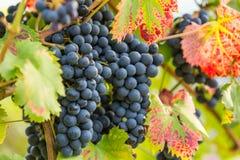 Черная виноградина 2 Стоковое Изображение