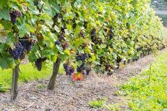 Черная виноградина 11 Стоковое фото RF