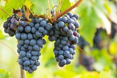 Черная виноградина 1 Стоковая Фотография RF