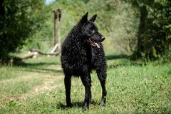 Черная влажная овчарка в солнце Стоковая Фотография RF