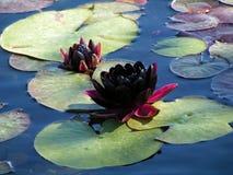 черная вода лилии Стоковые Фотографии RF