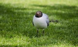 Черная возглавленная чайка на траве стоковое изображение