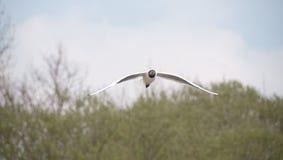 черная возглавленная чайка Стоковые Фотографии RF